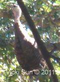 Turkey-Vulture-1b